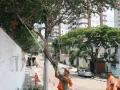 Árvores e galhos sendo removidos